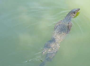 Young Varanus Salvator Swiming in The Water