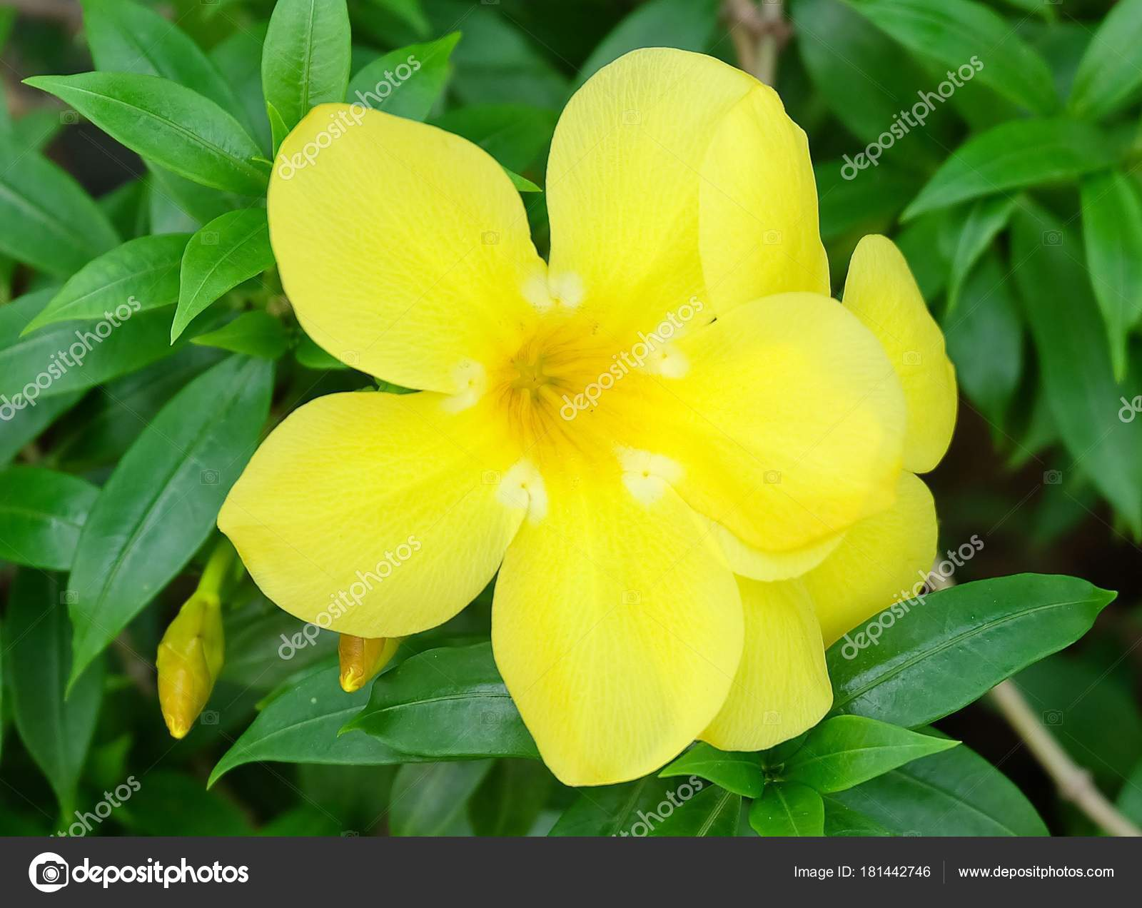 Beautiful Flower Close Yellow Sage Rose West India Holly Yellow