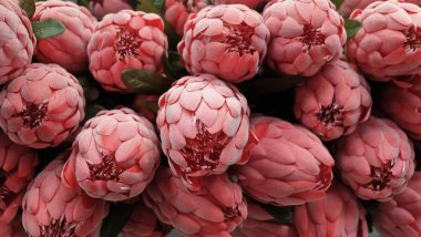 Background of Red Artificial Protea Aristata Flowers