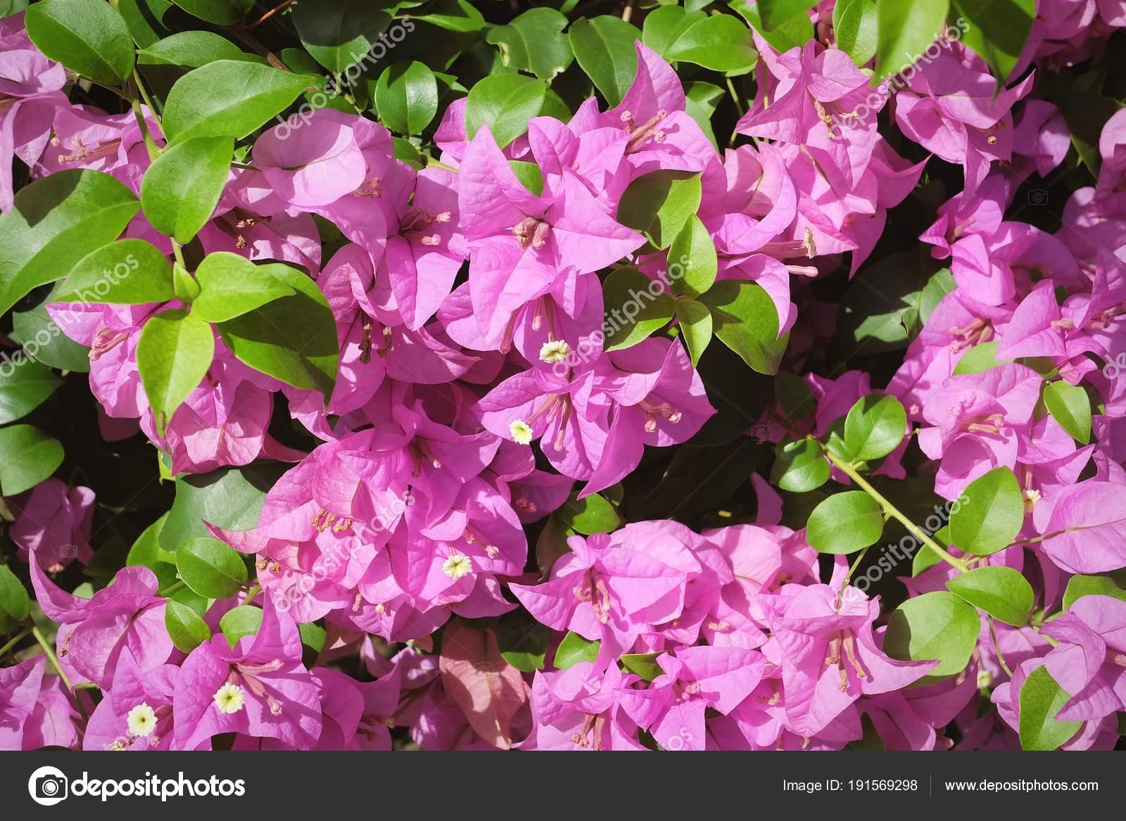 fleurs de bougainvillier rose ou fond de fleur de papier