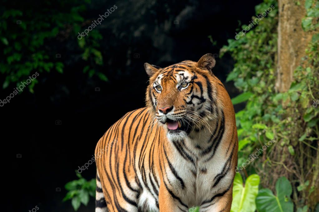 Indochinese Tiger standing in front of waterfall
