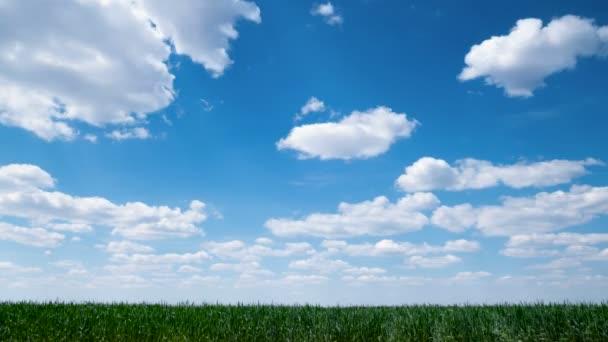 Timelapse. Zemědělci obilné pole na jaře. Zelená mladá pšenice a modrá obloha