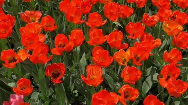 Pohled shora zpomalené pole červené tulipány