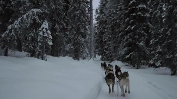 Jízda s psím spřežením v zimě lese