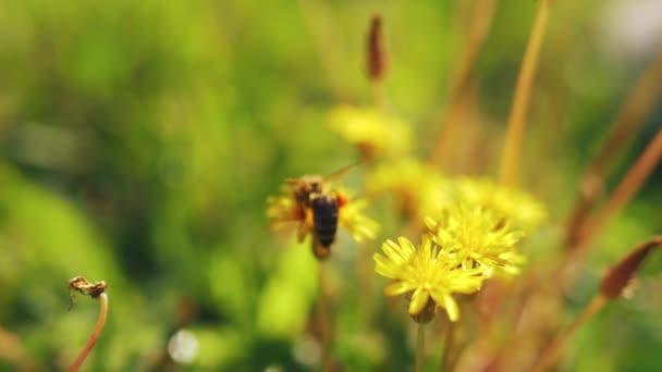 Méhecske a sárga pitypangon