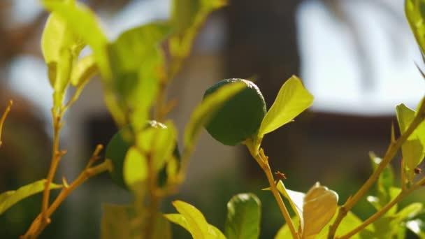 Linde mit Früchten