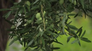 Olive tree under the rain