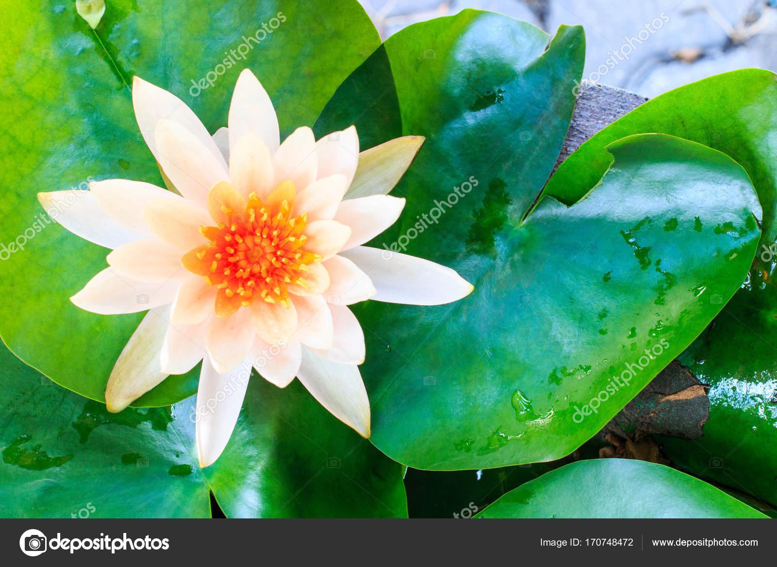 Beautiful White Lotus White Flower Lotus Flower Of Buddha Stock
