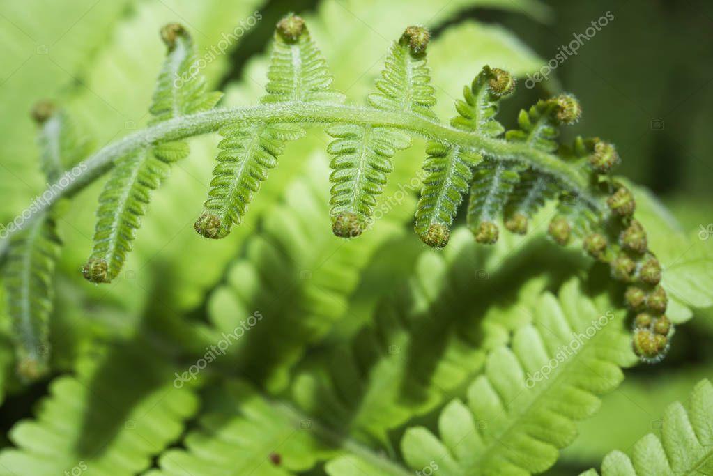 Curly Green Leaf