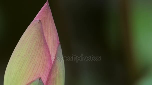 Closed Lotus flower in wind