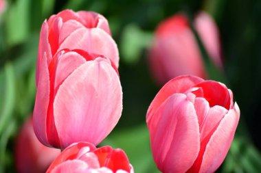 Tulips in spring. Colourful tulip