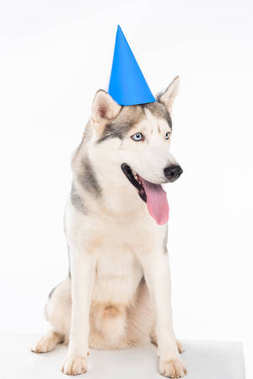 studio shot of siberian husky dog in blue party hat, isolated on white