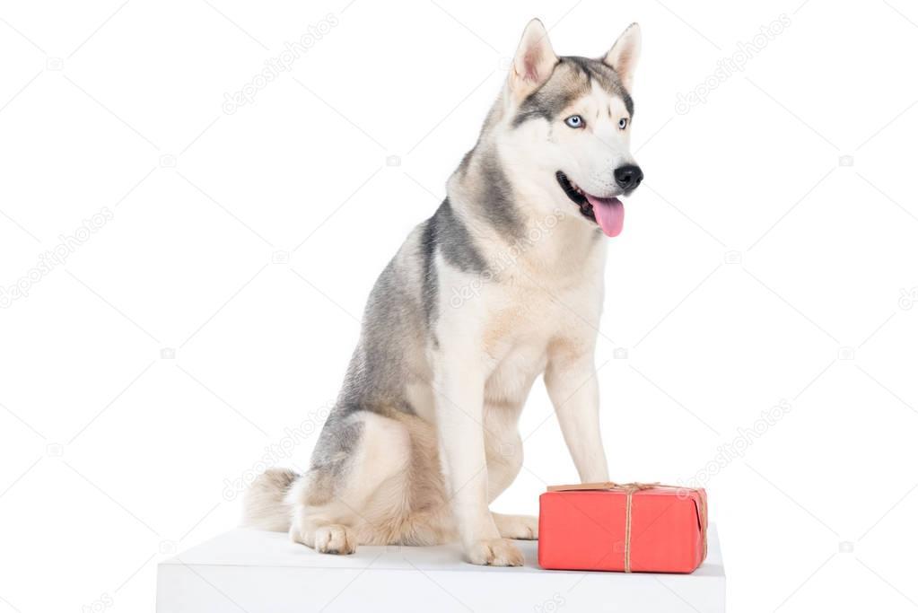 siberian husky dog with christmas present, isolated on white