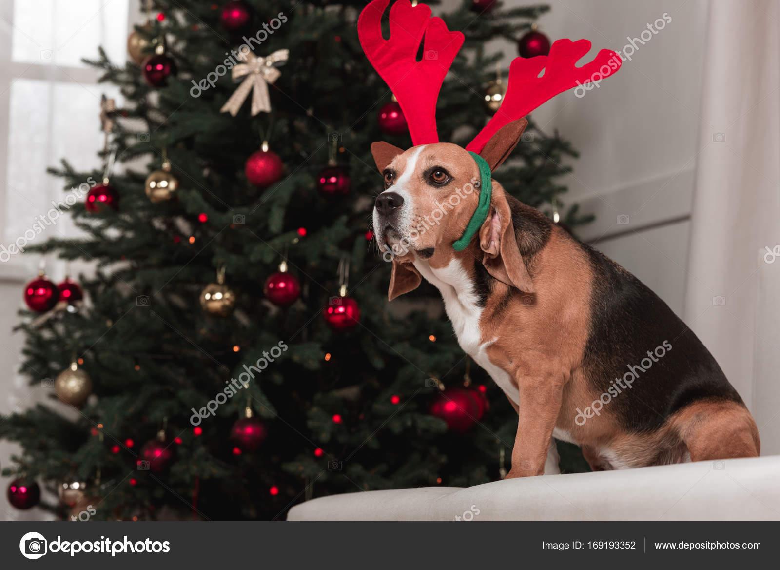 Beagle Hund mit Weihnachtsbaum — Stockfoto © AndrewLozovyi #169193352
