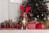 Photo beagle with toy antlers and christmas gifts
