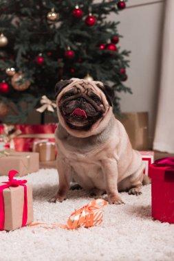 pug with christmas gifts