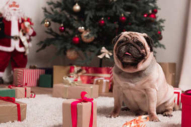 pug with christmas gifts