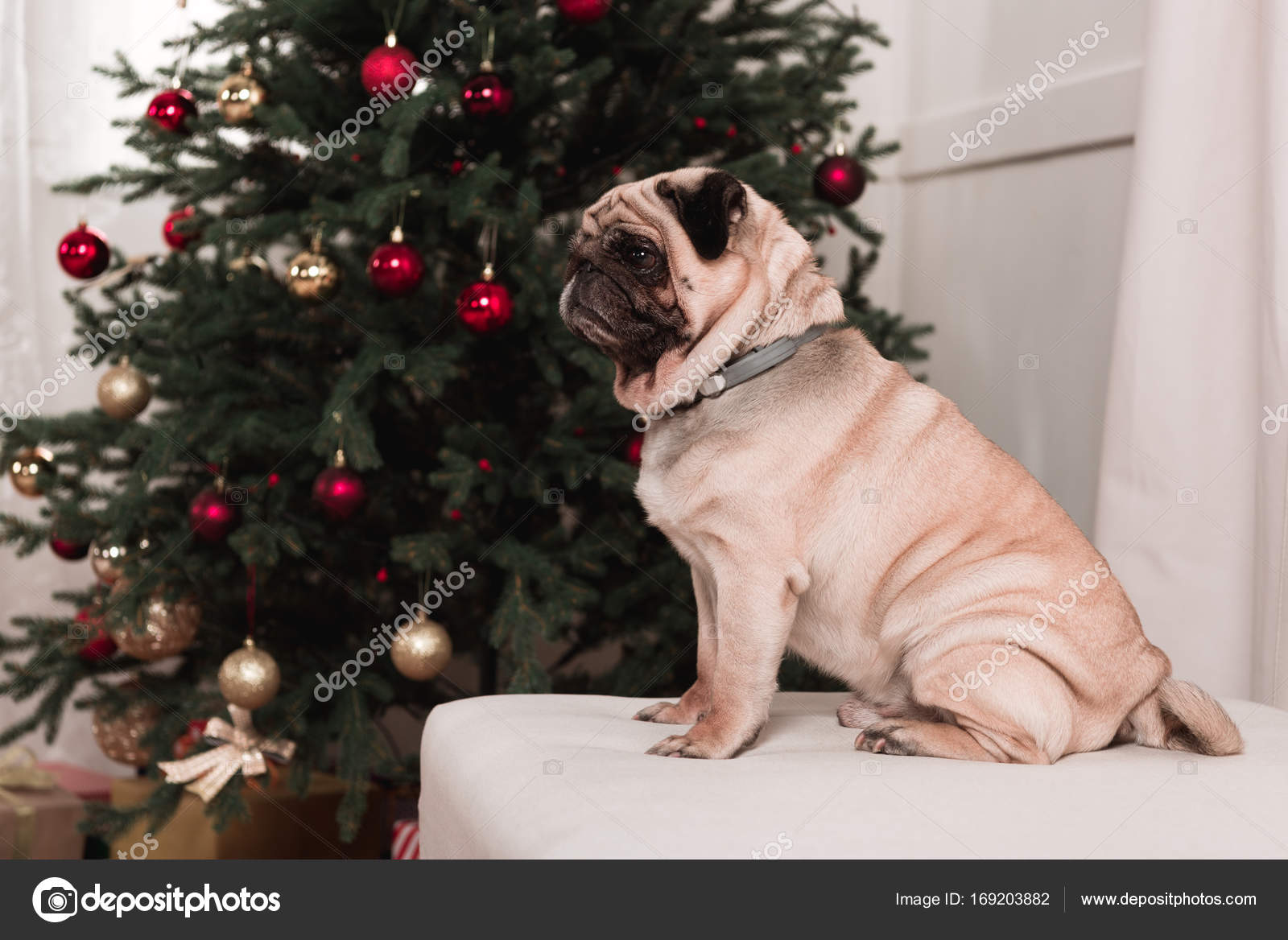 Pug Sitting Next To Christmas Tree Stock Photo Andrewlozovyi