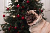 aranyos karácsonyfa mopsz