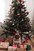 Mops, sedící pod vánoční stromeček
