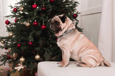 pug sitting next to christmas tree