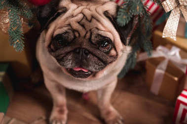 pug sitting under christmas tree