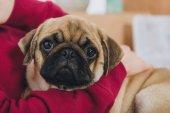 Close-Up Nézd nő játszik az aranyos mopsz kutya
