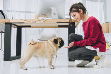 Young woman playing with pug by working table
