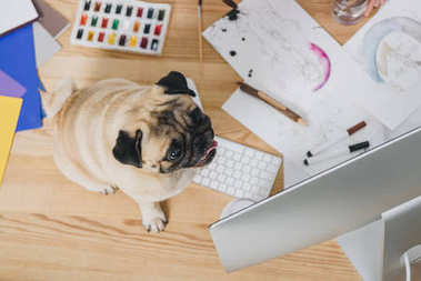 Cute pug on working table with fashion illustrations and computer