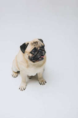 Cute pug dog looking up isolated on white