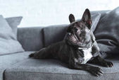 Photo Funny Frenchie dog lying on grey sofa