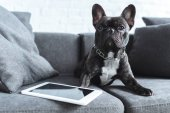 Photo Black Frenchie sitting on sofa by tablet