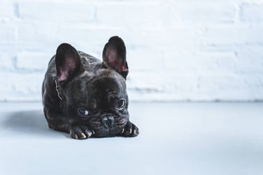 Sad cute French bulldog lying on floor