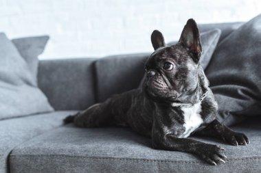 Funny Frenchie dog lying on grey sofa