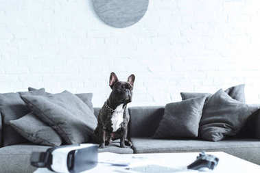 Cute french bulldog sitting on sofa by table with digital gadgets