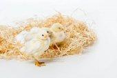 Fotografie entzückende kleine Hühner auf Nest isoliert auf weiss