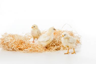 three cute little chickens on nest isolated on white