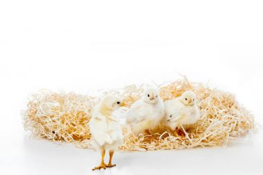 three adorable little chickens on nest isolated on white