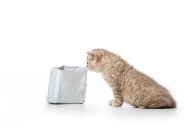 Cute little british shorthair kitten sniffing bag isolated on white stock vector