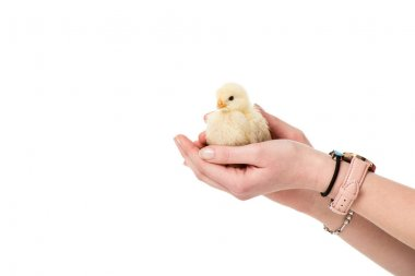 partial view of person holding cute little chick in hands isolated on white