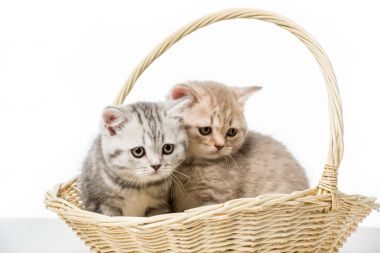 Adorable fluffy kittens sitting in wicker basket isolated on white stock vector