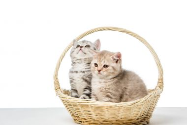 Cute fluffy kittens sitting in wicker basket isolated on white stock vector