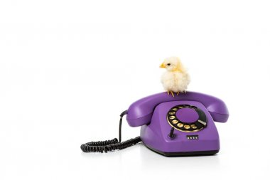 adorable little chicken sitting on rotary phone isolated on white