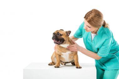 veterinarian in uniform examining french bulldog isolated on white