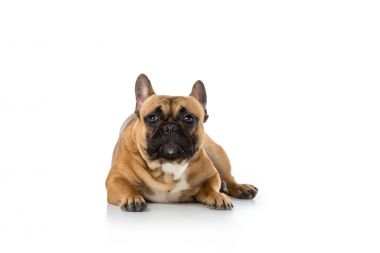 close up view of cute french bulldog isolated on white
