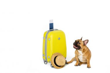 adorable french bulldog with yellow suitcase, straw hat, ticket and passport isolated on white