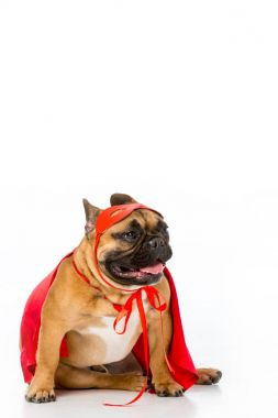 cute french bulldog in red superhero cape and mask isolated on white