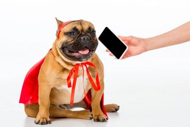 partial view of woman giving smartphone to cute french bulldog in superhero costume isolated on white