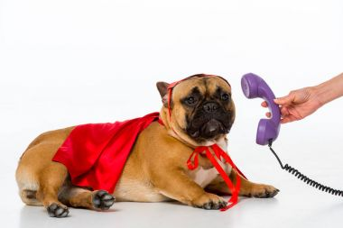 partial view of woman giving telephone tube to cute french bulldog in superhero costume isolated on white