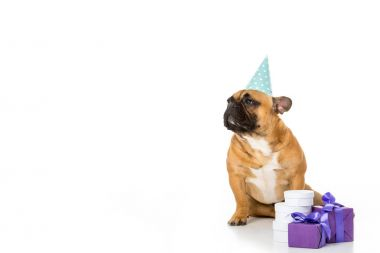 french bulldog in party cone sitting near wrapped gifts isolated on white